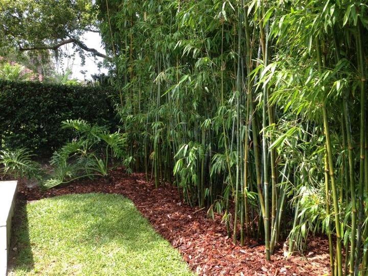 backyard bamboo